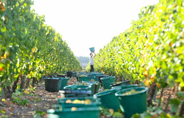 Azienda-vinicola-Contini-vendemmia-articolo-di-approfondimento-su-azienda-vinicola-Contini-Vanina-Basilli-copywriter