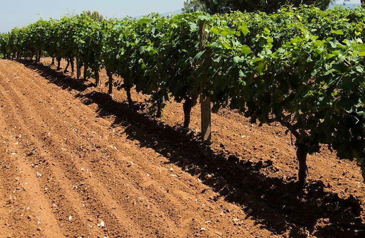Azienda-vinicola-Contini-vigneto-articolo-di-approfondimento-su-azienda-vinicola-Contini-Vanina-Basilli-copywriter